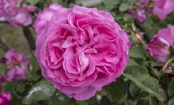 Il Roseto Detailaufnahme einer Rose