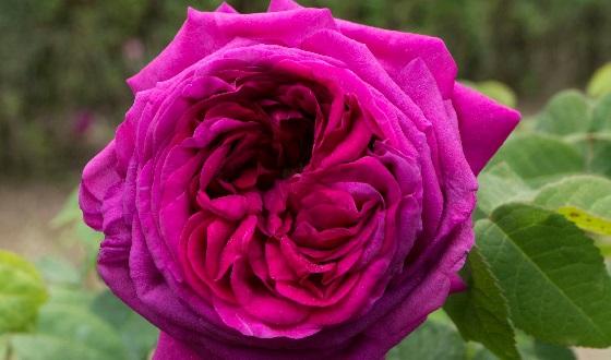 Horti Farnesiani – Rosa Augusta Palatina